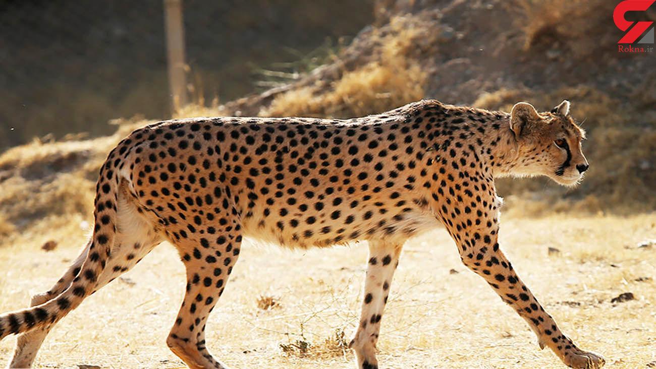 شناسایی 21 قلاده یوزپلنگ در سمنان