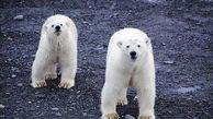 روستای روسی در محاصره 20 خرس قطبی!+ تصاویر