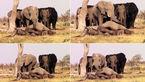 فیلم عزاداری فیل ها / هرگز تو را فراموش نخواهیم کرد +فیلم و عکس