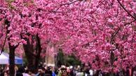 بهار در چین آمد + تصاویر زیبا