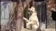 بازداشت عاملان دار زدن سگ در فریدون شهر + فیلم بسیار دردناک