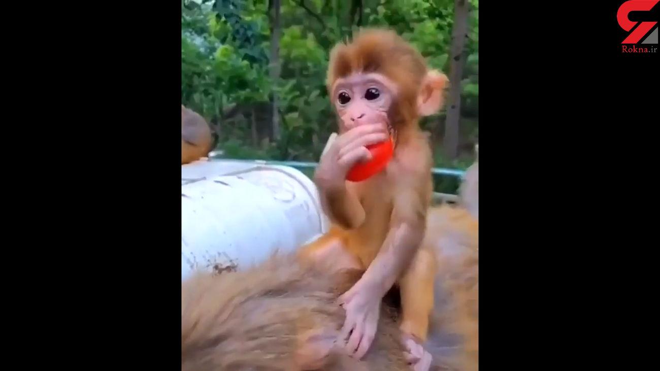 بی احساس ترین مادر میمون ها را ببینید + فیلم