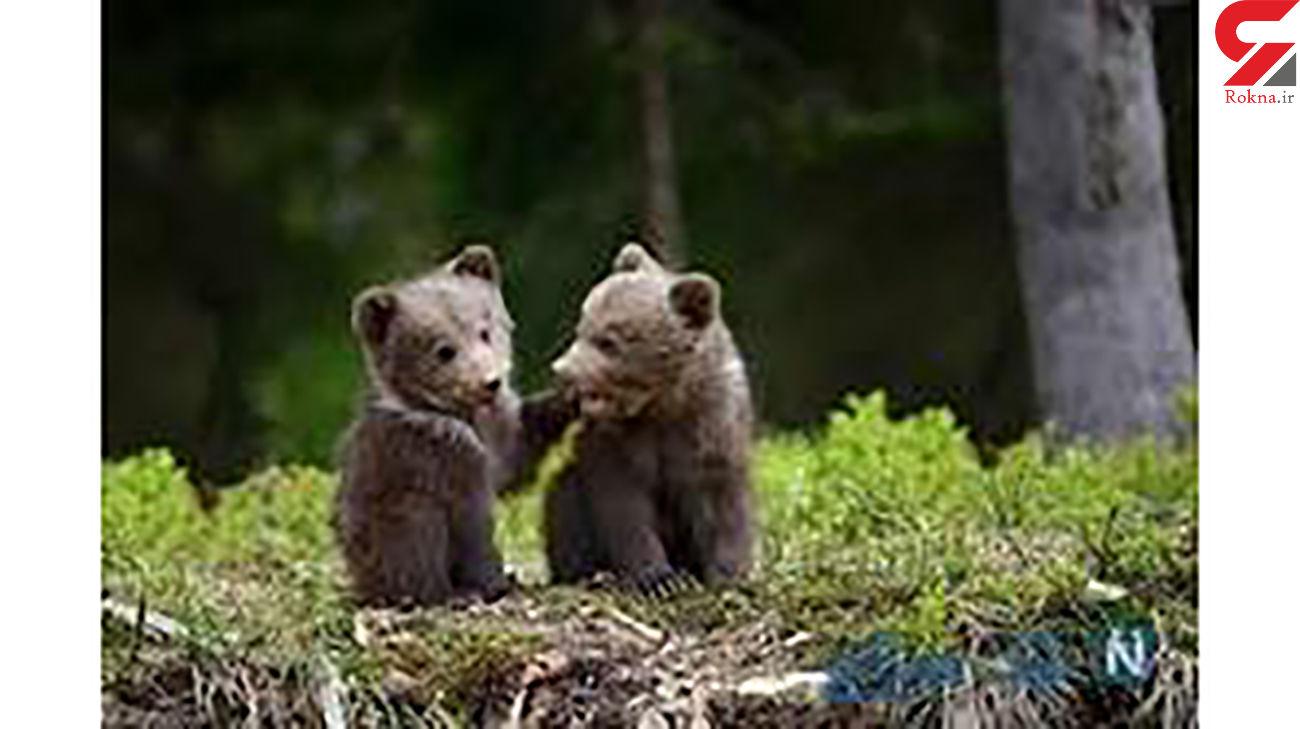 بازیگوشی دیدنی 2 توله خرس در وسط جاده + فیلم