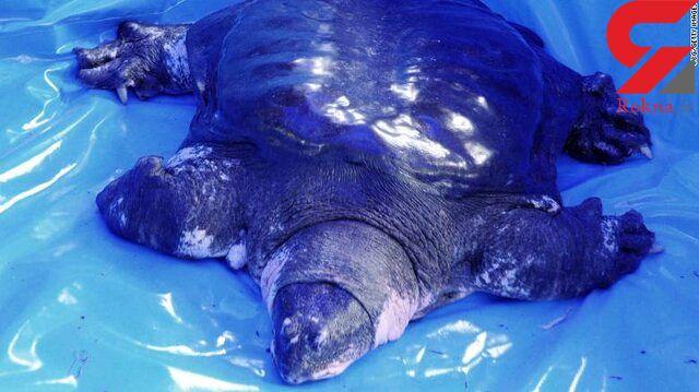 کمیابترین گونه لاکپشت جهان در خطر انقراض + عکس
