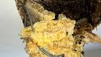 کشف کندوی عظیم عسل در سقف یک خانه+عکس
