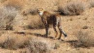 2 یوزپلنگ جدید قربانی طرحهای سازمان حفاظت محیط زیست