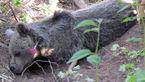 دلیل  ضرب و شتم  خرس قهوه ای گلستان چه بود؟