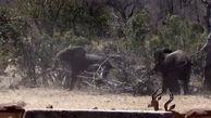 فیلم لحظه نجات معجزه آسای یک آهو توسط فیل