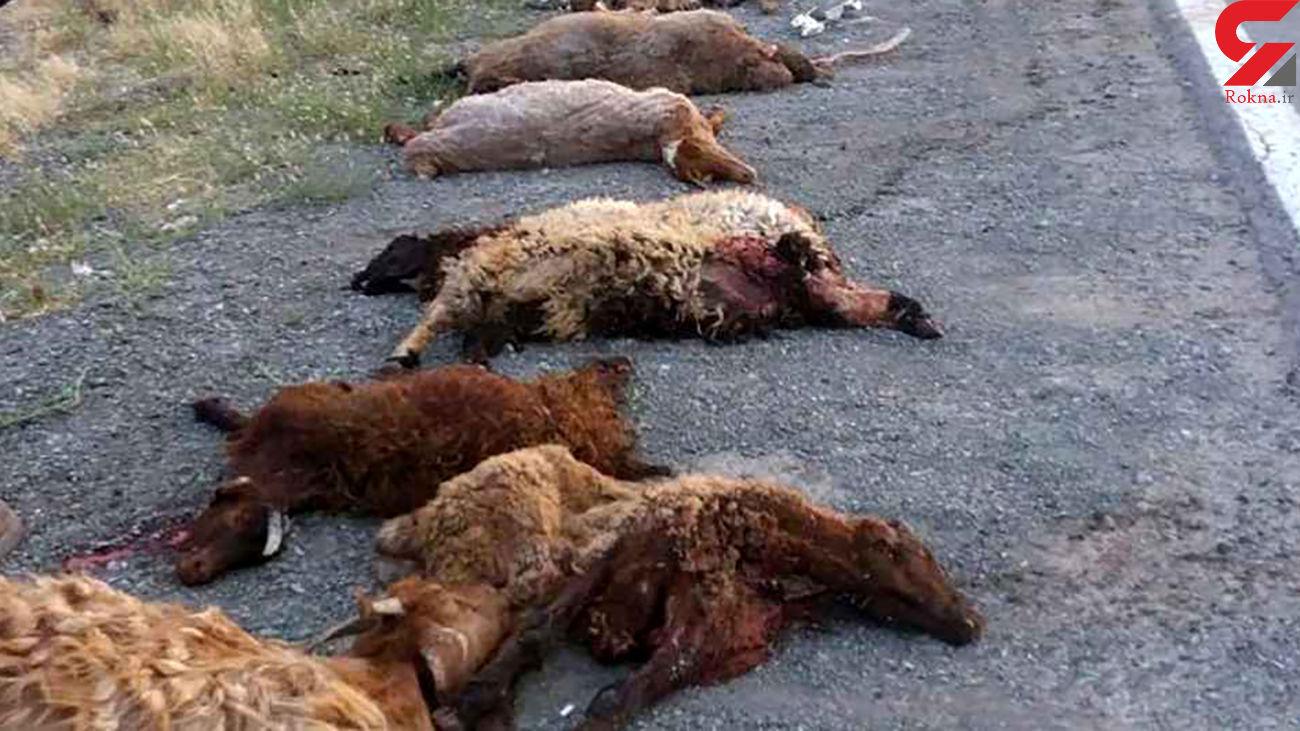 تلف شدن ۶ راس گوسفند در تصادف پراید با گله گوسفندان / در اسفراین رخ داد