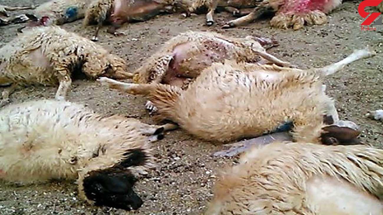 فیلم / حمله خونین گرگ به ترکمنچای میانه!
