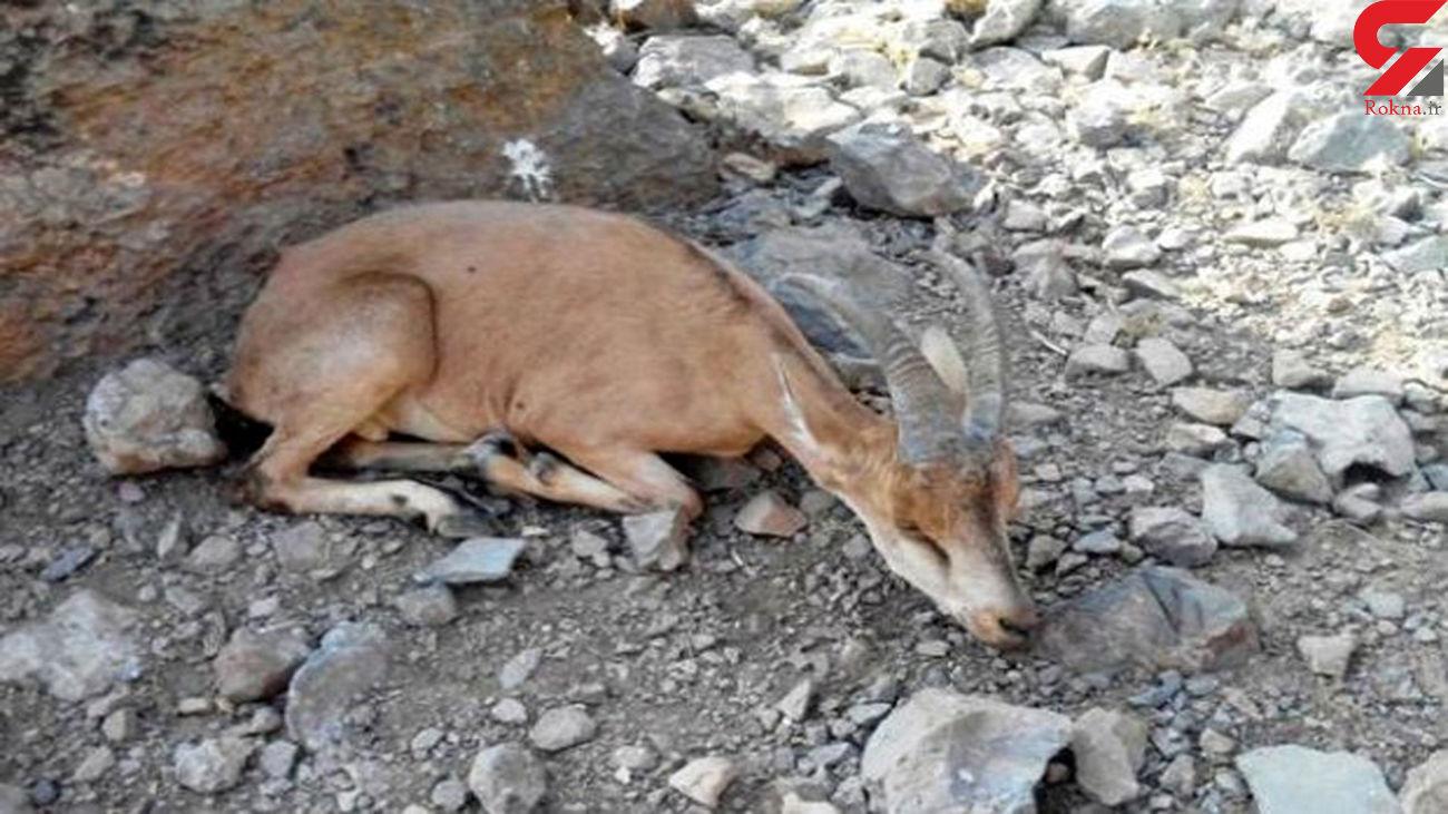 دستگیری شکارچیان کل وحشی در سوادکوه