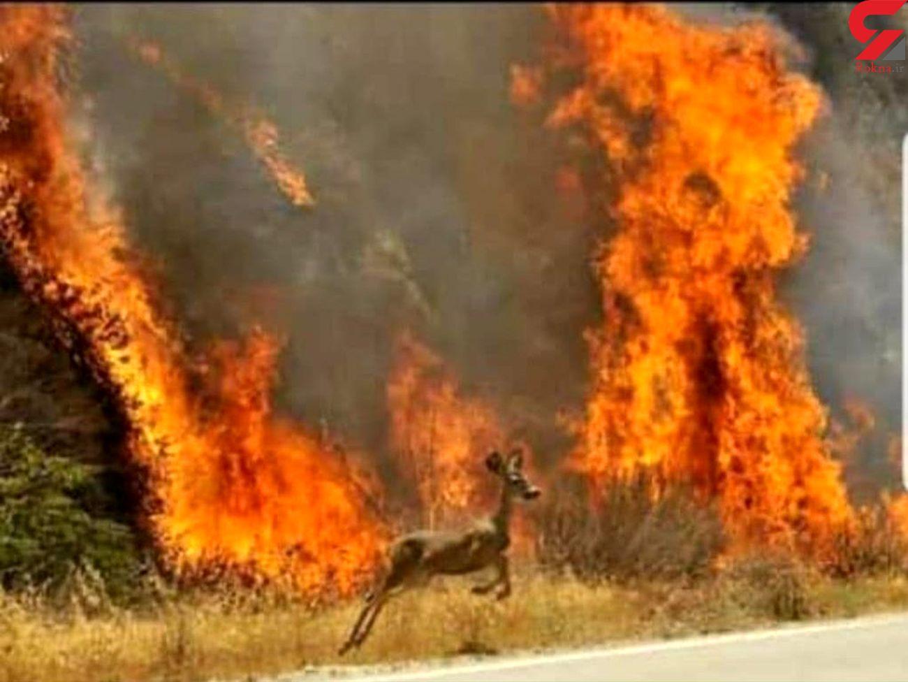 صحنه ای دلخراش از فرار حیوانات وحشتزده از ترس آتش در زاگرس