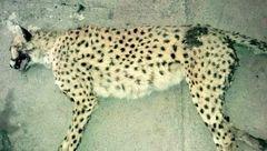 تلف شدن یک ماده یوزپلنگ در خراسانشمالی