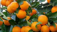 آغاز صادرات پرتقال از ۱۵ روز دیگر