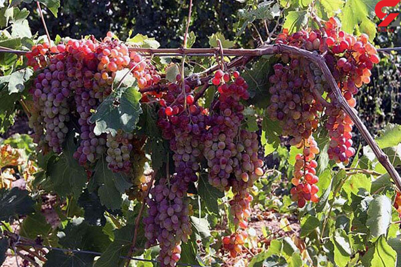 آغاز برداشت انگور از تاکستان های قزوین