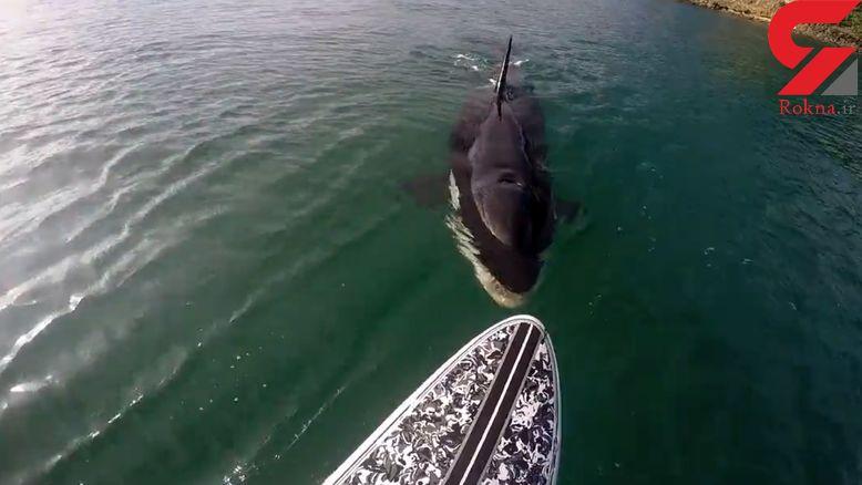 وقتی نهنگ قاتل منتظر ورود موج سوار به داخل آب است + فیلم