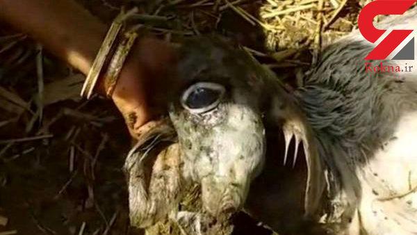 تولد موجود عجیب الخلقه  وحشتناک در روستای بنگال / مردم برای دیدن این موجود به صف شدند+عکس