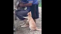این گربه شیر الاغ می خورد + فیلم