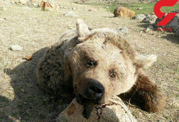 عکس انتشار یافته از جسد خرس بامزه /شکارچی خرس قلاجه محاکمه می شود!