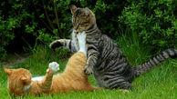 دعوای گربه ها وسط برنامه زنده! + فیلم