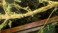 بیماری و آفات تهدید بزرگ جنگل های کشور است