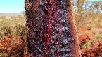درختی که از تنه اش خون می چکد!