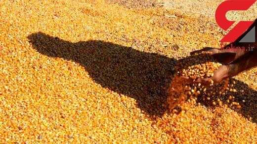 کشف 30 تن ذرت قاچاق در کنگاور