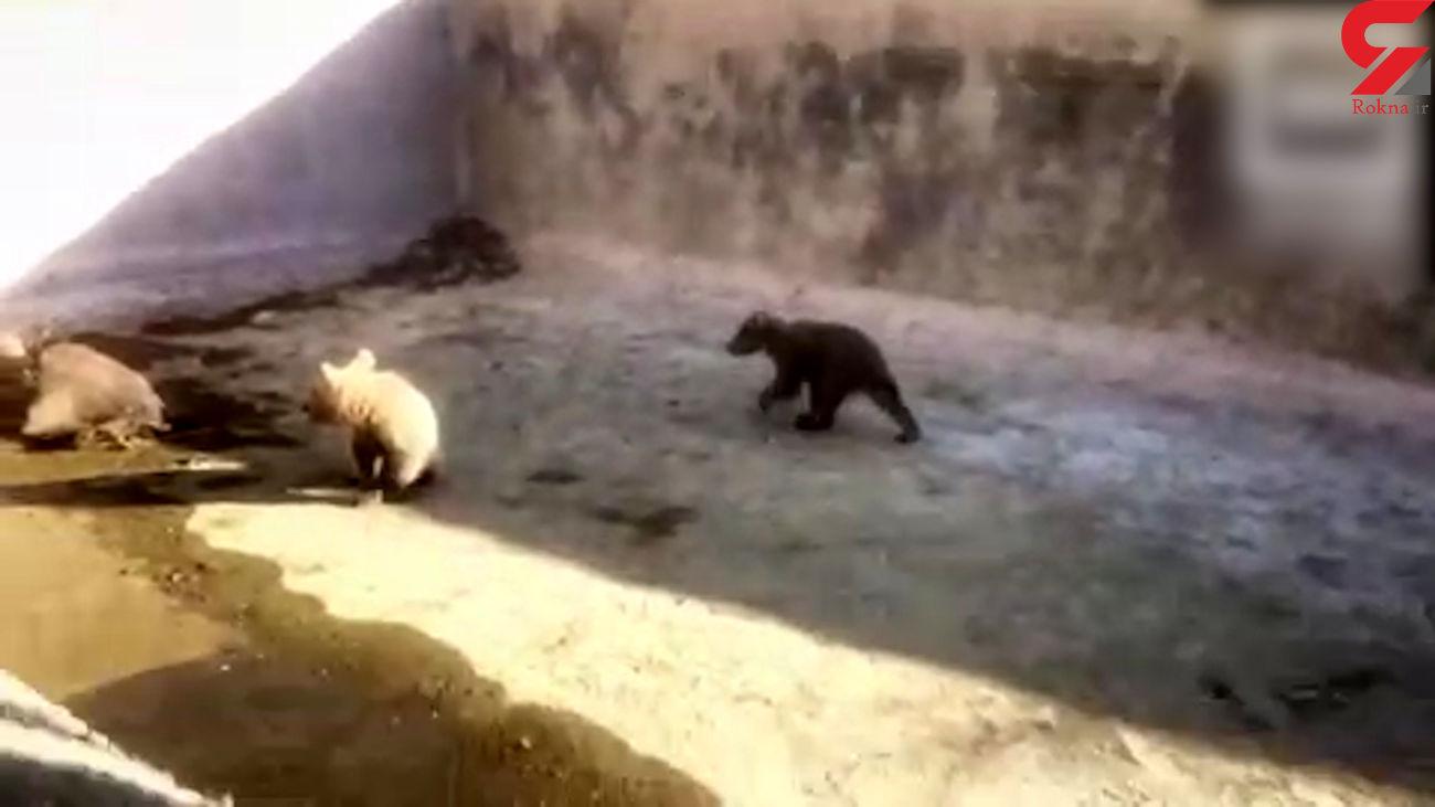 نجات  2 توله خرس گرفتار در استخری در گیلانغرب + فیلم