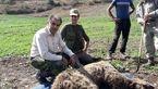 یک خرس  گرفتار در آمل جان سالم به در برد