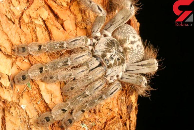سم عنکبوت این بیماری هولناک را درمان می کند