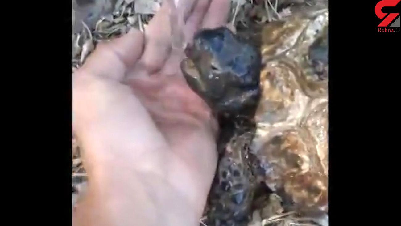 فیلم نجات لاک پشت تشنه  در آتش سوزی جنگل مریوان + جزییات