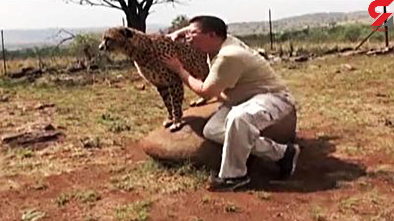 استفاده از یوزپلنگ برای جذب گردشگر در پارک ملی آفریقا + فیلم