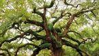 ماجرای درختان مرموزی که خانه ارواح است! + عکس