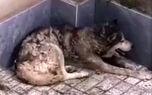 گرگ بی نوا از دست حمله سگ های ولگرد به خانواده کرجی پناه برد + فیلم