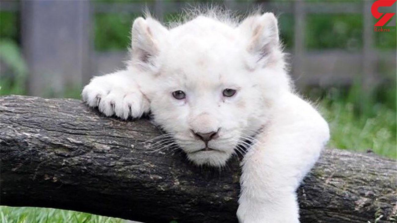 بچه شیر سفید در ایران مشاهده شد + عکس