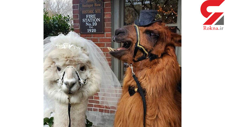 شترهایی که ساقدوش عروس و داماد شدند+عکس