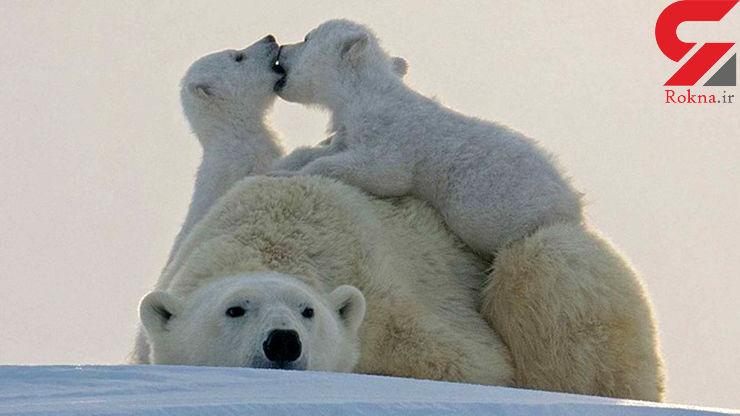 خرسهای قطبی در معرض انقراض