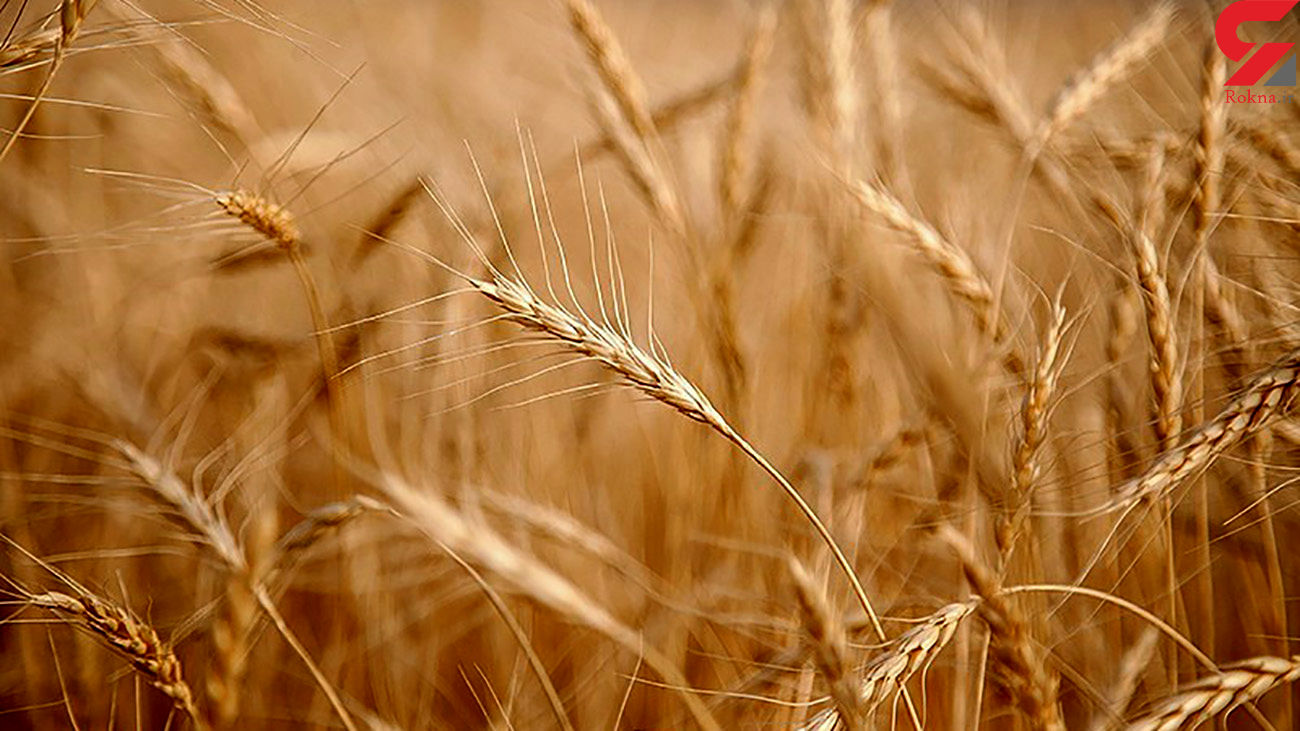 تکلیف قیمت گندم به زودی مشخص می شود