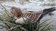 آنفلوآنزای فوق حاد پرندگان در سه استان کشور