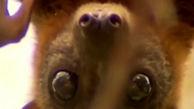 وحشت از حمله خفاش ها به استرالیا + فیلم عجیب