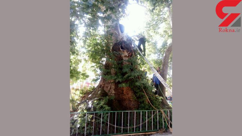 درخت 2500 ساله تویسرکان را آتش زدند +عکس