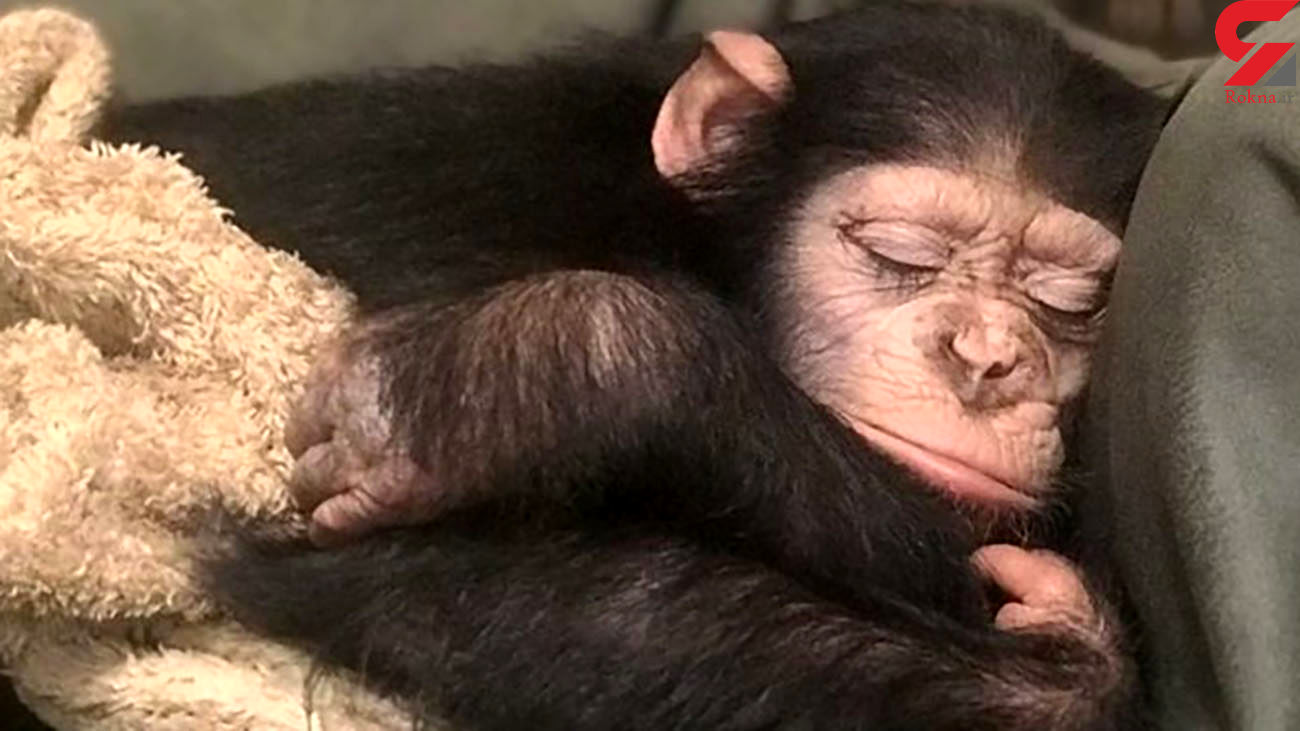 شامپانزه ای که ایران را به چالش کشید / باران  زنده می ماند؟  + عکس و جزئیات تلخ