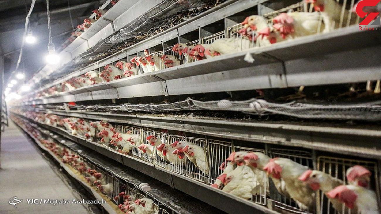 عرضه مرغ با نرخ بالای 30 هزار تومان بیانصافی است