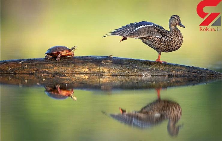 میهمان ناخوانده اردک