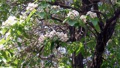این درخت شهروندان تهرانی را نجات می دهد