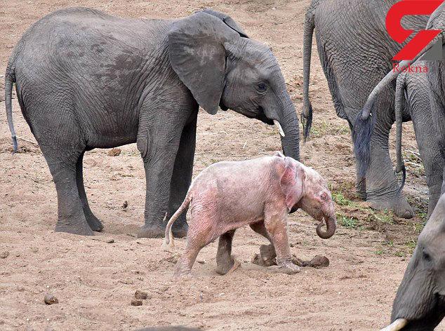 حمله خاکستریها به بچه فیل صورتی + عکس