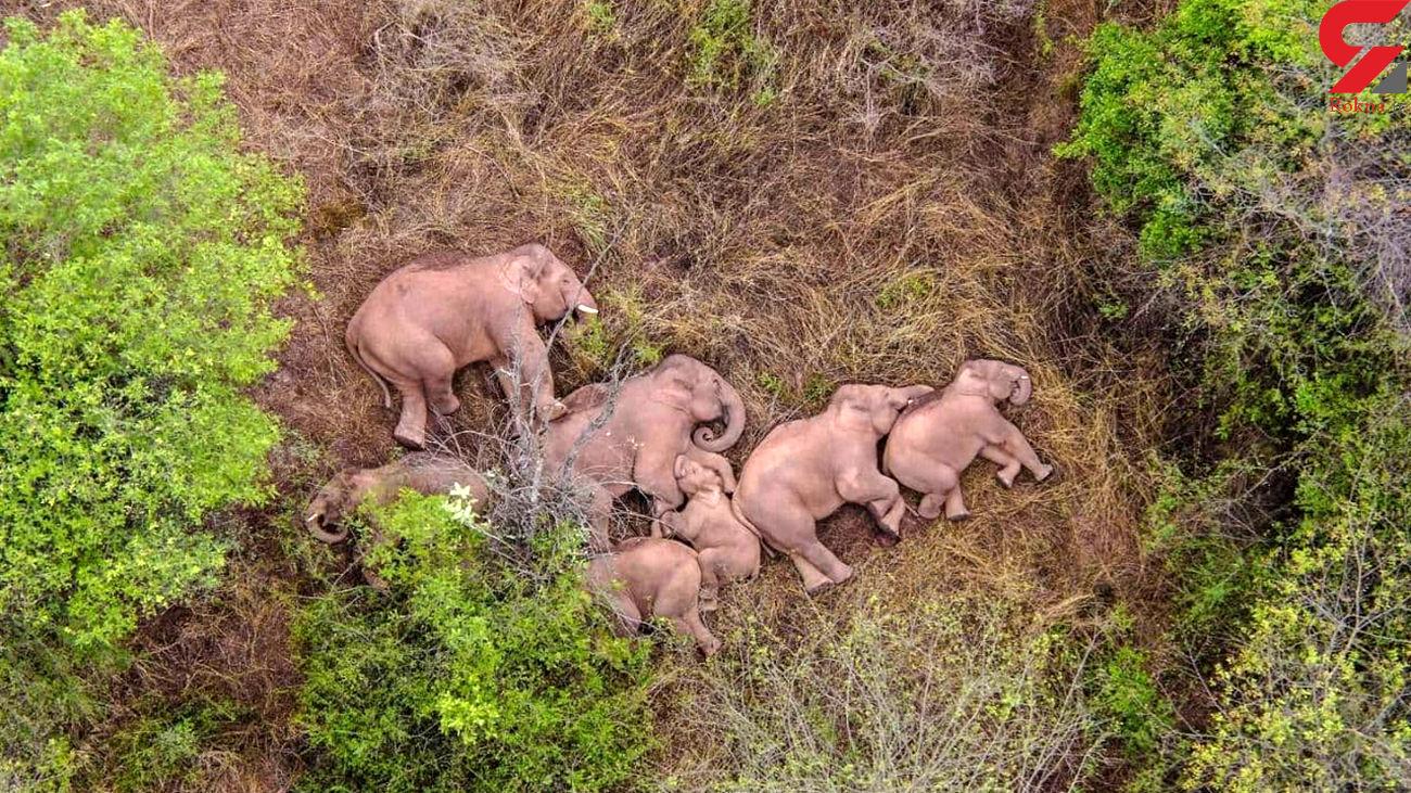 عکس / گله فیل های 15 ماهی چینی گمشده اند !