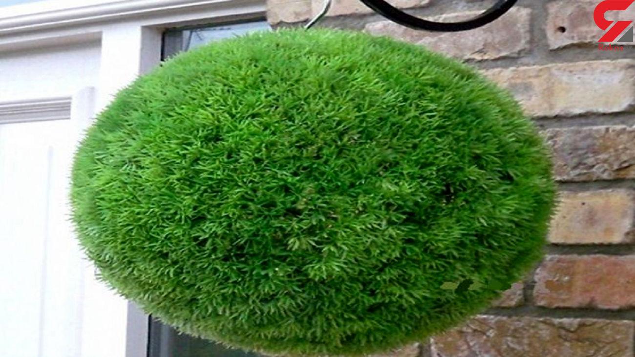 روش کاشت سبزه توپی برای عید