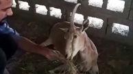 بلایی که شکارچیان بر سر بز کوهی بندرلگه آوردند+ فیلم و عکس