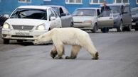 وحشت مردم از گشت و گذار یک خرس در خیابان های شهر+ عکس